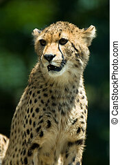 Observant cheetah. - Observant cheetah with green background...