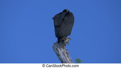 Observing Black Vultures On A Tree, Costa Rica - Native...