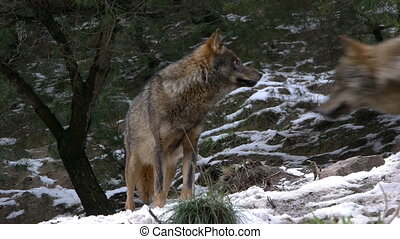 observing wolf pack leader - wolf pack leader watching from...