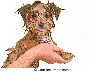 obteniendo, yorkie, baño, mezcla, maltés, perrito