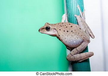 obyčejný, keř, žába