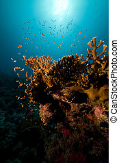 océano, coral, y, pez