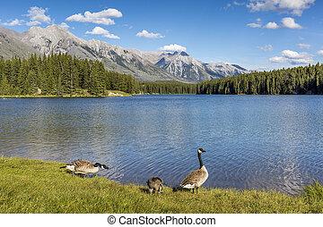 oca canada, famiglia, su, il, riva, di, uno, lago montagna