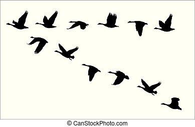 oca, canada, volare, oche, canadese