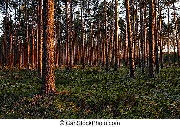 ocaso, en, un, bosque