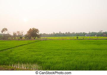 ocaso, encima, campo del arroz
