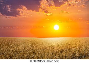 ocaso, encima, el, campo de trigo