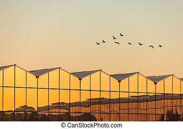 ocaso, vuelo, gansos, invernadero, durante