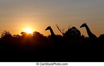 ocaso, y, jirafas, en, silueta, en, áfrica