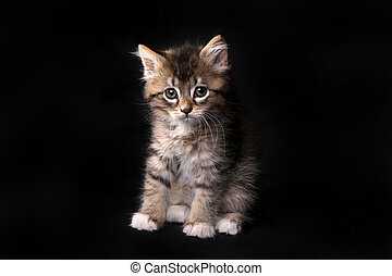occhi grandi, maincoon, gattino