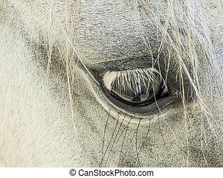occhio, di, cavallo bianco