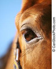 occhio, di, cavallo rosso, closeup