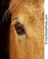 occhio, di, palamino, cavallo, closeup