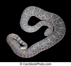 occidental, crotale, diamondback