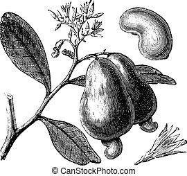 occidentale, pomme, vendange, noix cajou, occidental, arbre, anacardium, ou, engraving.