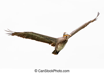 occidentalis, pelecanus, vogel