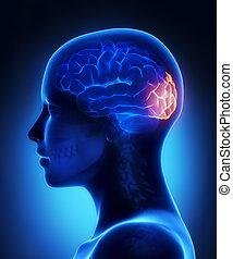 Occipital lobe - female brain anatomy lateral view