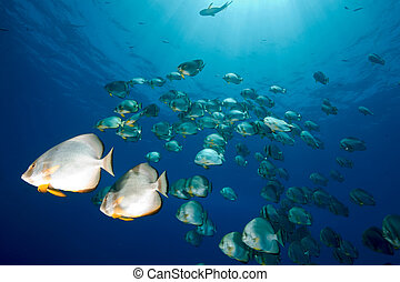 ocean and orbicular spadefish
