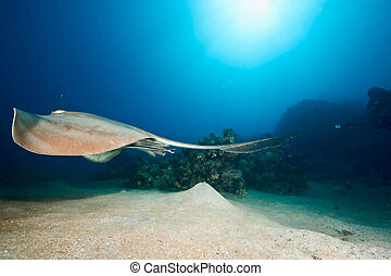 ocean, coral and feathertail stingray