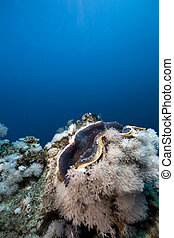 ocean, coral and giant clam