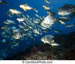 ocean, coral and orbicular spadefish