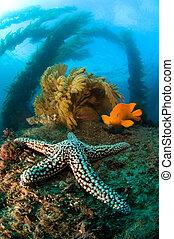 Ocean reef scenery - A cold water reef in California is host...