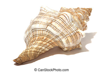 ocean spiral shell isolated on white