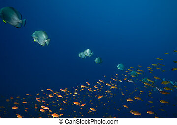 ocean, sun and orbicular spadefish