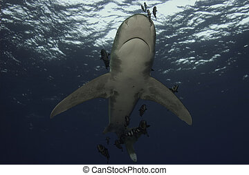 Oceanic white tip - Longimanus