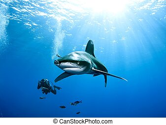 oceanic white tip shark and diver - diver photographing an ...