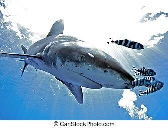 oceanic white tip shark close up