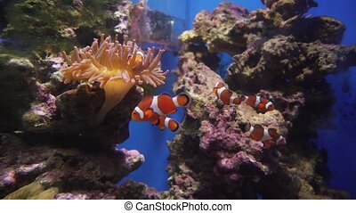 Ocellaris clownfish in sea anemones stock footage video -...