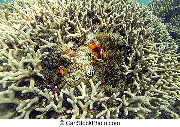 ocellaris, clownfishes