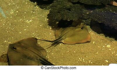 Ocellate river stingray. - Ocellate river stingray in...