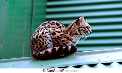 Ocelot in an animal reserve in Misiones, Argentina. (Felis...