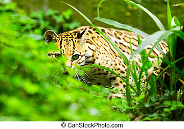 Ocelot Leopardus Pardalis Stalking In The Dense Amazonian...
