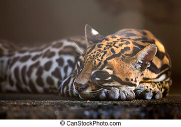 Ocelot or Leopardus pardalis - Close-up image of ocelot or...