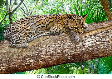 Ocelote Leopardus pardalis Ocelot cat in central america...