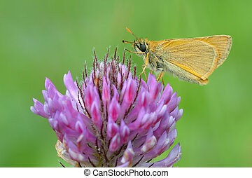 Ochlodes sylvanus, butterfly on a purple flower.