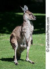 ocidental, cinzento, canguru