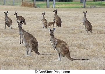 ocidental, cinzento, canguru, macropus fuliginosus