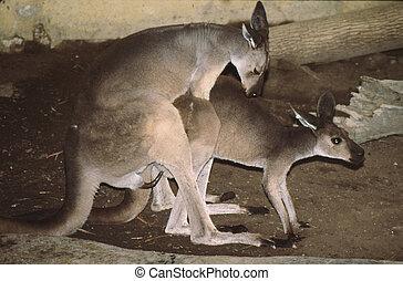 ocidental, cinzento, kangaroog-1062