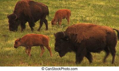 ociela się, pielęgnacja, ranchland, wiosna, bizon, (1113),...
