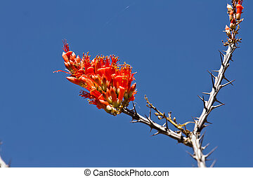 Ocotillo against blue sky