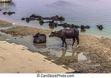 October 31, 2014: Black bulls in the Ghats of Varanasi,...