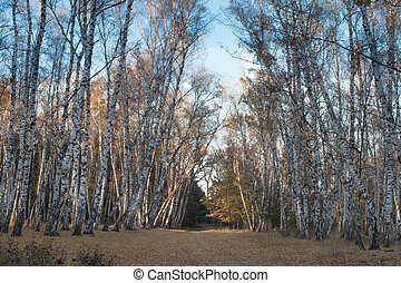 October autumn birch grove
