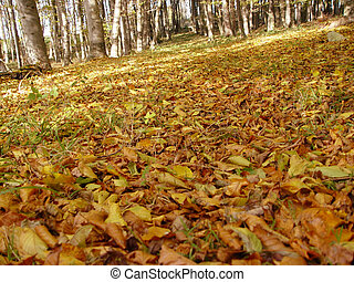 october forest - autumn - leafs are falling