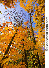 October Gold Reaching to the Sky