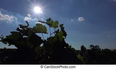 October sun behind the vine - the wind plays with the leaves...