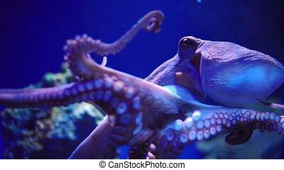 Octopus crawls on the glass of the aquarium. - Octopus...